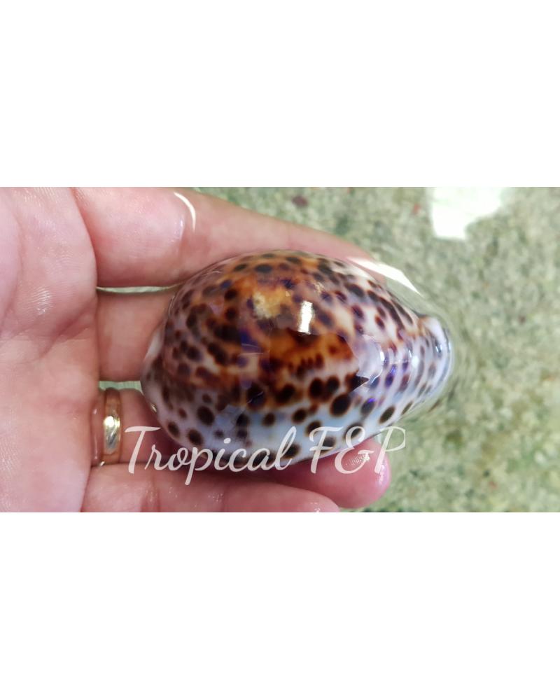 CYPRAEA TIGRIS