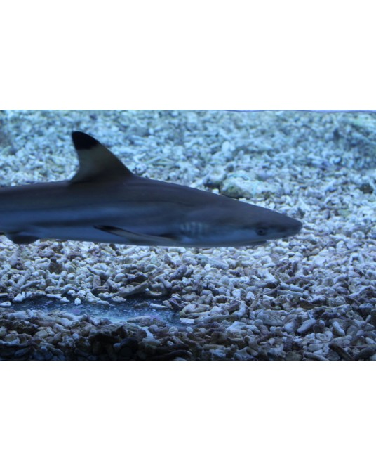 BLACK TYP SHARK